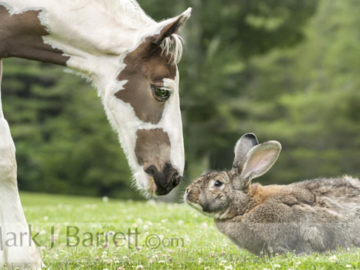 Flemish Giant Rabbit meets horse foal