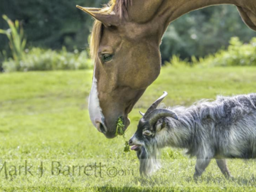 Stallion Horse With Goat