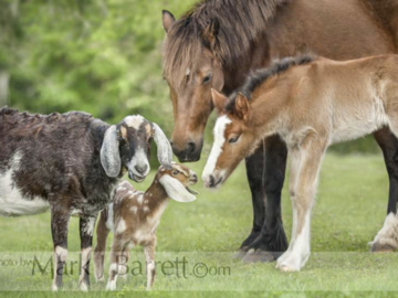 Nubian Goats and Fell Ponies