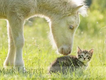 Miniature horse and kitten