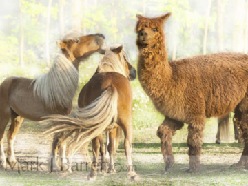 Miniature Horses with Alpaca buddy