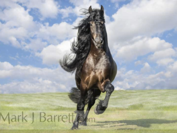 Friesian Horse Stallion