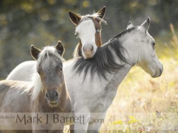 Miniature Horse Pals