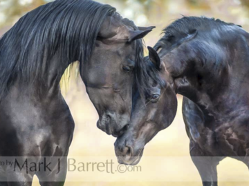Friesian Horses Touch