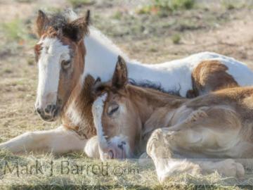 Gypsy Vanner Horse foals sleeping close