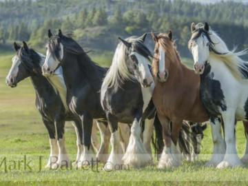 Gypsy Vanner Horse mares herd
