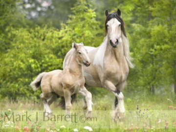 Gypsy Vanner mare with foal