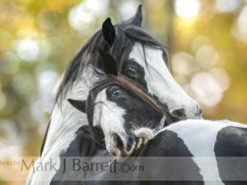 Gypsy Vanner Horse mares grooming