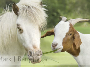 Miniature Horse and Goat buddy