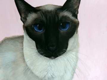 'Cocoa' my beloved siamese