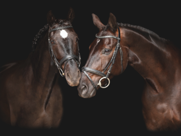 Two Warmblood geldings touching noses