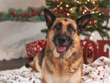 A German Shepherd Christmas photo