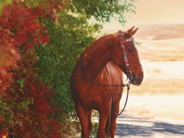A Quarter Horse gelding