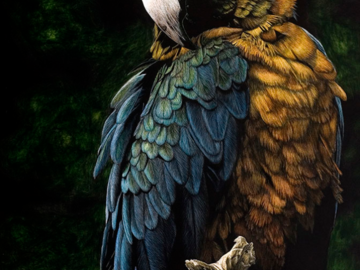 """20""""x14"""" Scratchboard Drawing of a Macaw Parrot"""