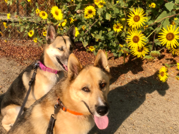 60-Minute weekly walk with Triton & Akira