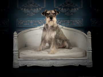 Studio Portrait of a Schnauzer