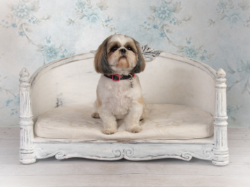 Studio Portrait of a Shih Tzu
