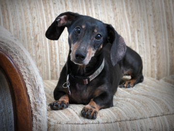 In Home Portrait of a Dachshund