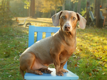 Outdoor Portrait of a Dachshund