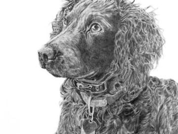 Graphite drawing of a Boykin Spaniel