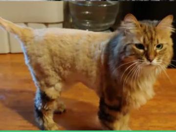 Lion Cut