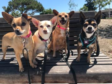 The Chihuahua walking gang!
