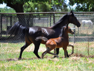 One of our broodmares & her linebred FADJUR daughters