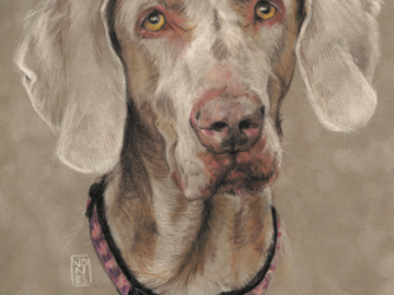 """Commissioned 8x10"""" Weimaraner pastel on suede mat board $220 pride"""
