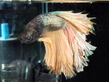 Tiko-fish client