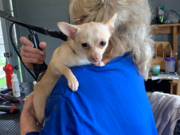 Chihuahua baby getting groomed