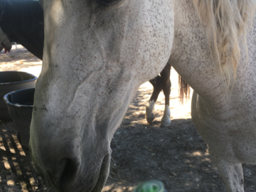 Rescue horse choosing her oils for self healing