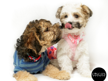 Poodle puppies giving kisses