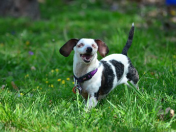 Hope, the blind and deaf doxie.