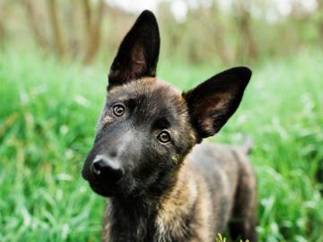 dutch shepherd puppy