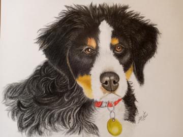 A Bernese Mountain Puppy