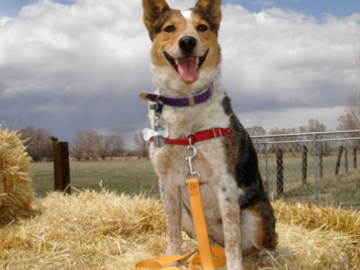 Clementine on a hay bale in the SLV of Colorado