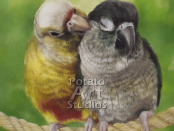 Pair of Conures (Pira and Syl)