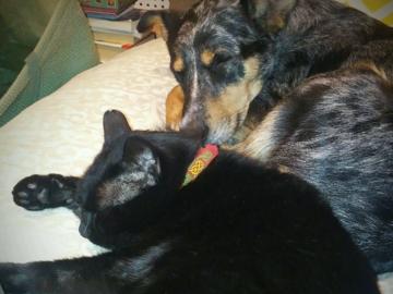SARK the dog training cat and PBT