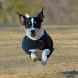Dog running square