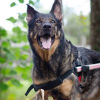 Big Cypress German Shepherd Rescue - Naples, FL